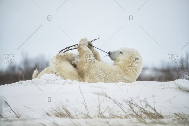 Polar bear (Ursus maritimus) playing with a stick in the snow; Churchill, Manitoba, Canada