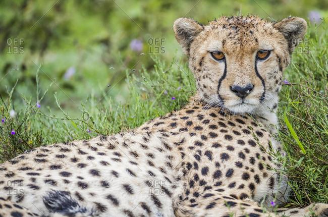 Cheetah (Acinonyx jubatus); Ndutu, Tanzania