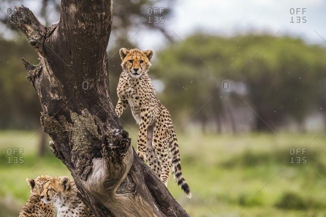 Cheetah (Acinonyx jubatus) in a tree; Ndutu, Tanzania
