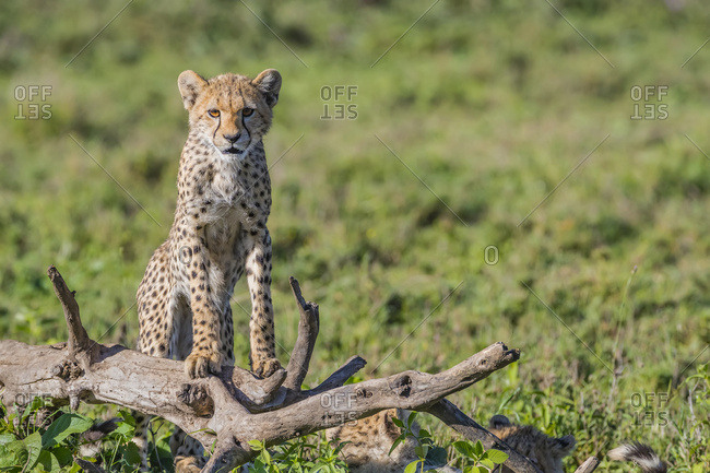 Cheetah (Acinonyx jubatus) standing on a dead tree; Ndutu, Tanzania