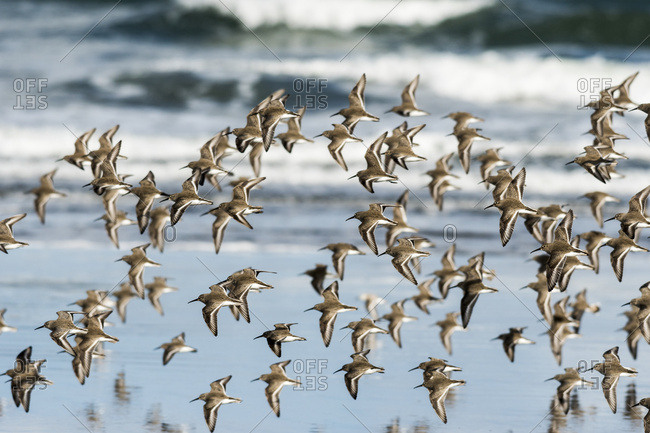 A Dunlin (Calidris alpina) flock flies along the beach during migration; Hammond, Oregon, United States of America