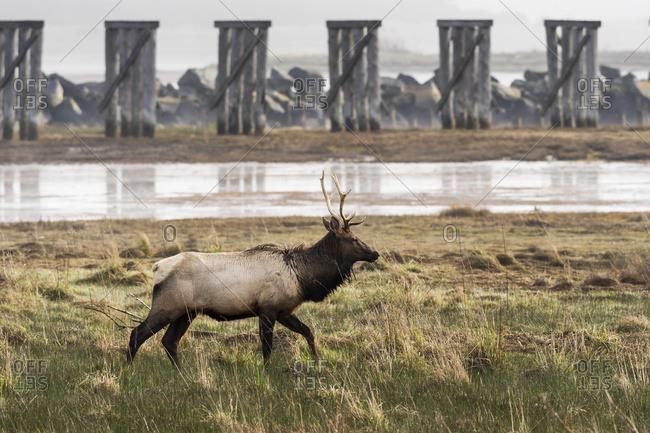 A young bull Roosevelt Elk (Cervus canadensis roosevelti) visits Trestle Bay; Hammond, Oregon, United States of America
