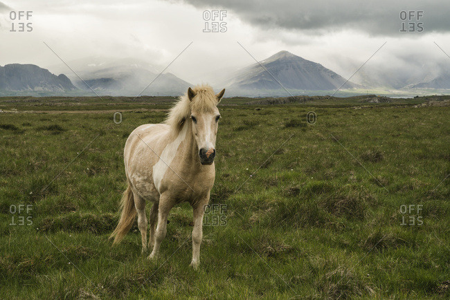 Icelandic horse in a grass field; Iceland