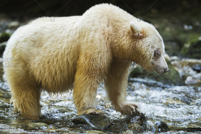 Spirit Bear, or Kermode Bear (Ursus americanus kermodei) in the Great Bear Rainforest; Hartley Bay, British Columbia, Canada