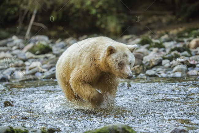 Spirit Bear, or Kermode Bear (Ursus americanus kermodei) fishing in the Great Bear Rainforest; Hartley Bay, British Columbia, Canada