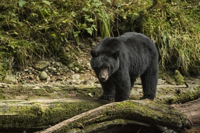 Black bear (Ursus americanus) fishing in the Great Bear Rainforest; Hartley Bay, British Columbia, Canada