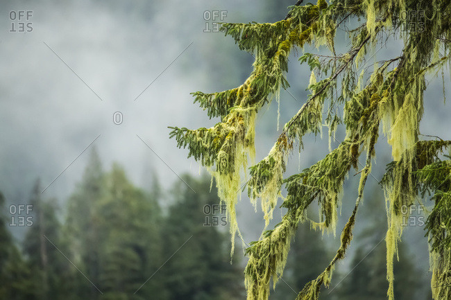 Close-up of moss hanging from tree branches, Great Bear Rainforest; Hartley Bay, British Columbia, Canada