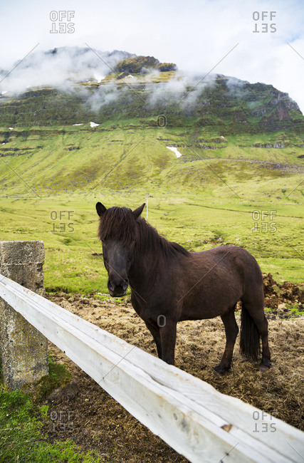 An Icelandic horse stands against the fence in a farmer's field with cloud covered volcanic peaks in the background; Iceland
