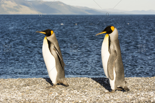 Two king penguins (Aptenodytes patagonicus) walk proudly along a pebble beach; Ushuaia, Tierra del Fuego, Argentina