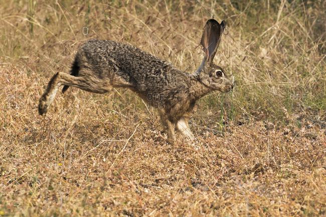 Rabbit running through the grass in summer, Cascade Siskiyou National Monument; Ashland, Oregon, United States of America