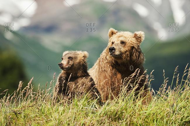 Two Kodiak Bears (Ursus arctos middendorffi) sitting in grass on a mountainside, Katmai National Park; Alaska, United States of America