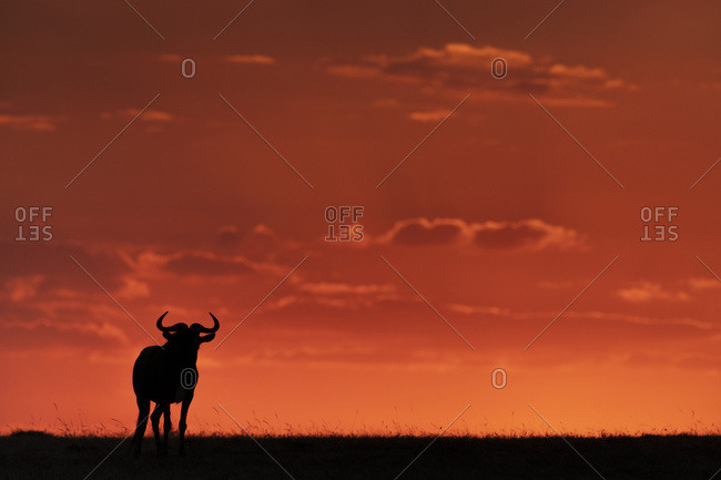 A blue wildebeest (Connochaetes taurinus) on the horizon is silhouetted against an orange sky at sunset. It's horns are visible in outline, and it's standing facing the camera, Maasai Mara National Reserve; Kenya