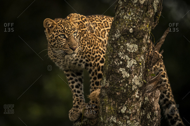 A leopard (Panthera pardus) stands in a tree that is covered in lichen. It has black spots on its brown fur coat and is turning it's head to look up, Maasai Mara National Reserve; Kenya