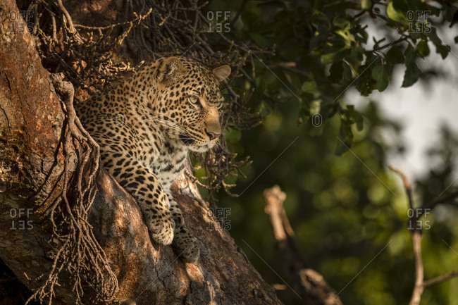 A leopard (Panthera pardus) lies in the fork of a tree with it's head up. It has black spots on it's brown fur coat and is looking for prey, Maasai Mara National Reserve; Kenya