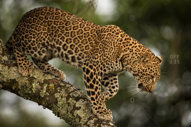 A leopard (Panthera pardus) walks down the lichen-covered branch of a tree. It has black spots on it's brown fur coat and is looking down, Maasai Mara National Reserve; Kenya