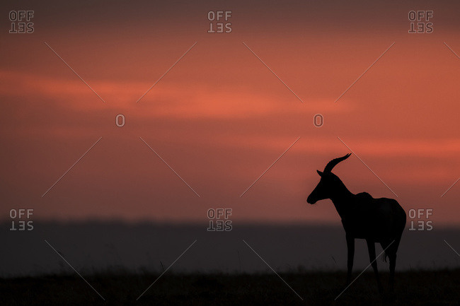 A topi (Damaliscus lunatus jimela) stands in profile on the horizon at sunset. It's body is silhouetted against the bright pink clouds in the sky, Maasai Mara National Reserve; Kenya