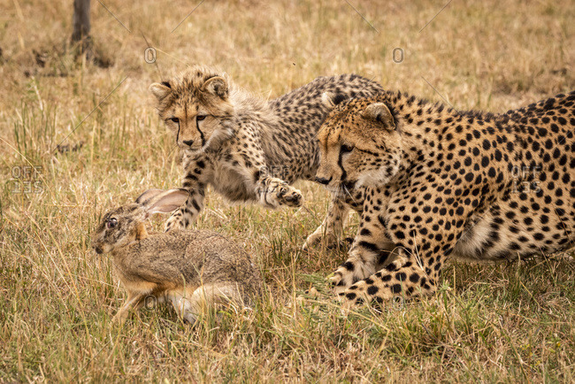 A mother cheetah (Acinonyx jubatus) and her cub chase a scrub hare (Lepus saxatilis) on a grassy plain. They have golden fur covered with black spots, and the cub is stretching out it's paw to catch the hare. Masai Mara; Kenya