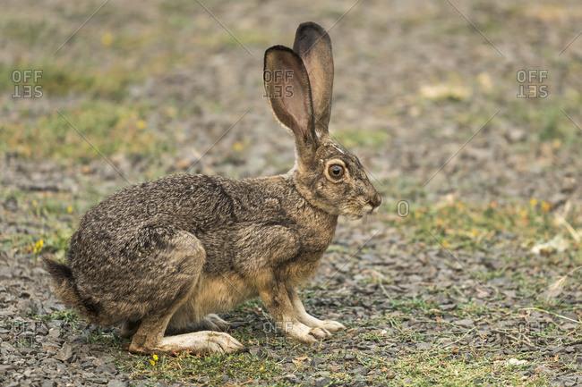 Rabbit with large ears, Cascade Siskiyou National Monument; Ashland, Oregon, United States of America
