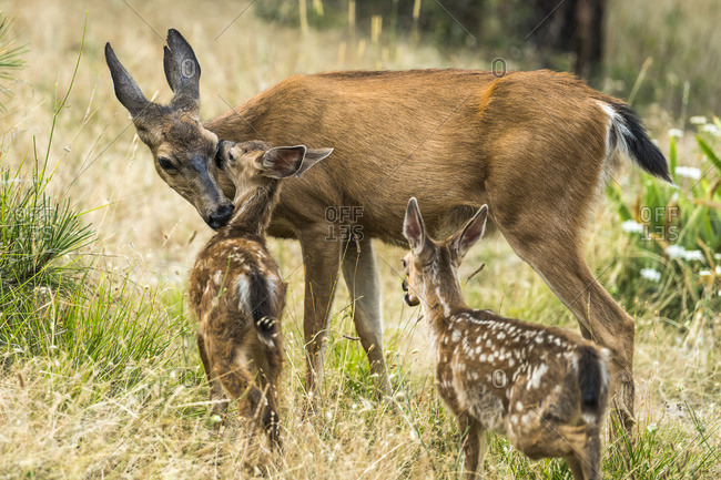 White-tailed doe (Odocoileus virginianus) with fawns in the Cascade Siskiyou National Monument; Ashland, Oregon, United States of America
