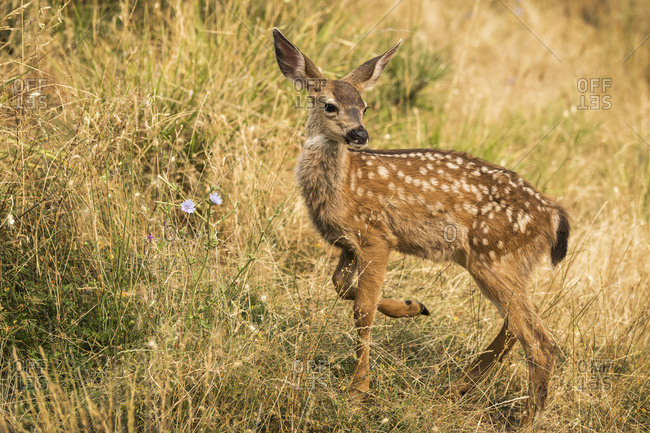 White-tailed deer (Odocoileus virginianus) fawn in the Cascade Siskiyou National Monument; Ashland, Oregon, United States of America