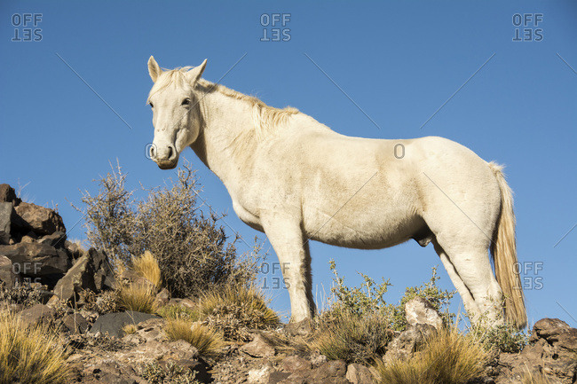 White horse on a ridge against a blue sky seen from up close; Malargue, Mendoza, Argentina