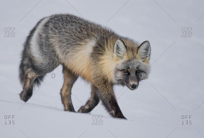 Red fox (Vulpes vulpes) walking in snow; Haines Junction, Yukon, Canada