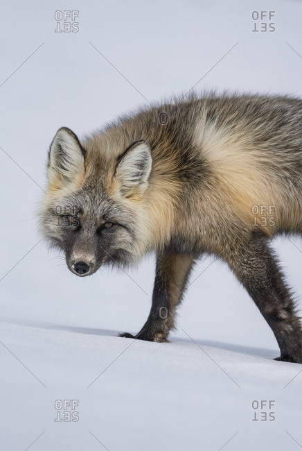 Red fox (Vulpes vulpes) walking in snow; Haines Junction, Yukon, Canada
