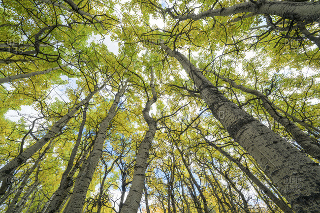 Stunted aspen trees in a forest, near Haines Junction; Yukon, Canada