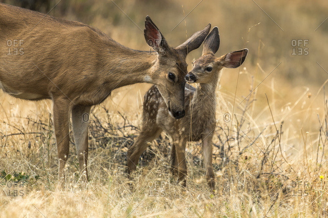 White-tailed deer (Odocoileus virginianus) fawn with it's mother in the Cascade Siskiyou National Monument; Ashland, Oregon, United States of America