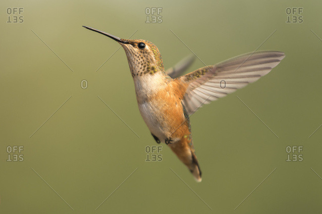 Hummingbird in flight, Cascade Siskiyou National Monument; Ashland, Oregon, United States of America