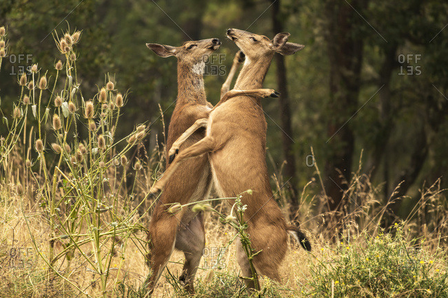 White-tailed deer (Odocoileus virginianus) fighting in the Cascade Siskiyou National Monument; Ashland, Oregon, United States of America