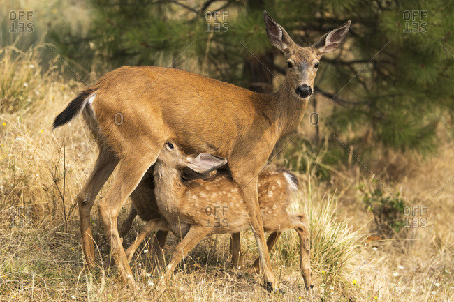White-tailed deer (Odocoileus virginianus) fawns nursing in the Cascade Siskiyou National Monument; Ashland, Oregon, United States of America