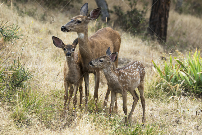 White-tailed deer (Odocoileus virginianus) fawns and doe in the Cascade Siskiyou National Monument; Ashland, Oregon, United States of America