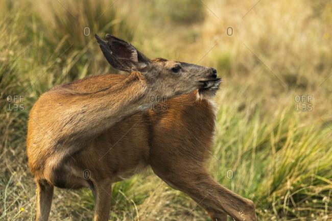 White-tailed deer (Odocoileus virginianus) biting it's own tail, Cascade Siskiyou National Monument; Ashland, Oregon, United States of America