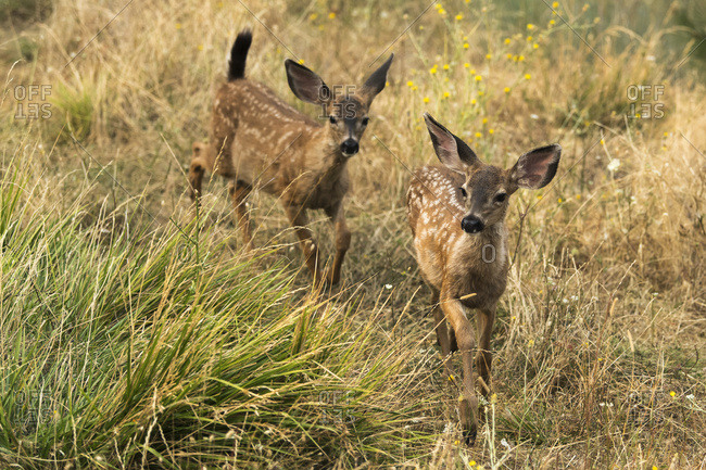 White-tailed deer (Odocoileus virginianus) fawns in the Cascade Siskiyou National Monument; Ashland, Oregon, United States of America