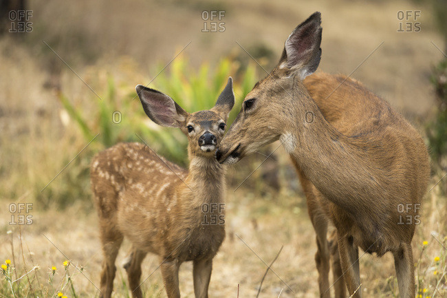 White-tailed deer (Odocoileus virginianus) fawn nose to nose with a doe in the Cascade Siskiyou National Monument; Ashland, Oregon, United States of America
