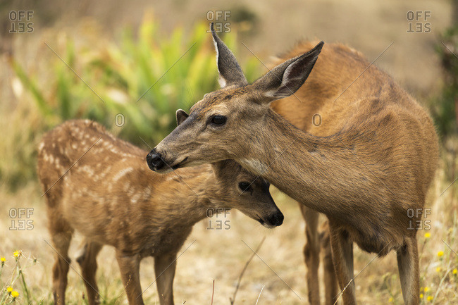 White-tailed deer (Odocoileus virginianus) fawn with a doe in the Cascade Siskiyou National Monument; Ashland, Oregon, United States of America