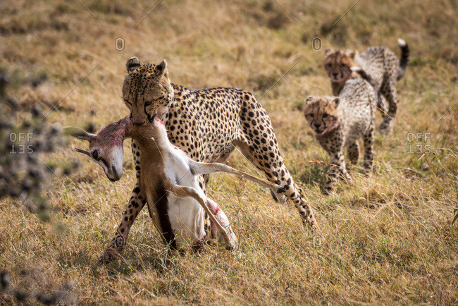 Cheetah (Acinonyx jubatus) drags Thomson's gazelle (Eudorcas thomsonii) with two cubs following, Maasai Mara National Reserve; Kenya
