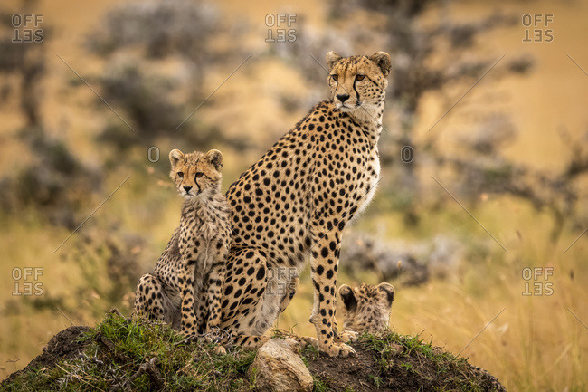 Cheetah (Acinonyx jubatus) and cubs sitting together on mound, Maasai Mara National Reserve; Kenya