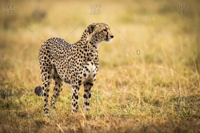 Cheetah (Acinonyx jubatus) standing in grass with head raised, Maasai Mara National Reserve; Kenya