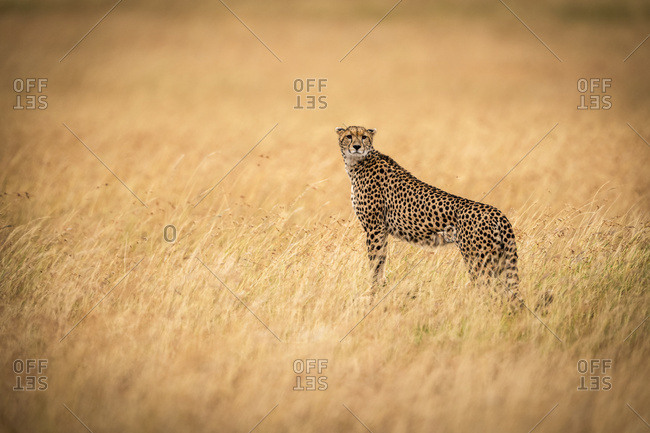 Cheetah (Acinonyx jubatus) standing on mound in golden grass facing camera, Maasai Mara National Reserve; Kenya