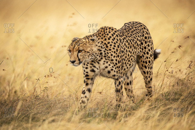 Cheetah (Acinonyx jubatus) walks through grass with head down, Maasai Mara National Reserve; Kenya