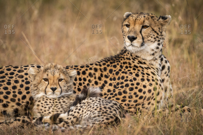 Close-up of cheetah (Acinonyx jubatus) and cub in grassland, Maasai Mara National Reserve; Kenya