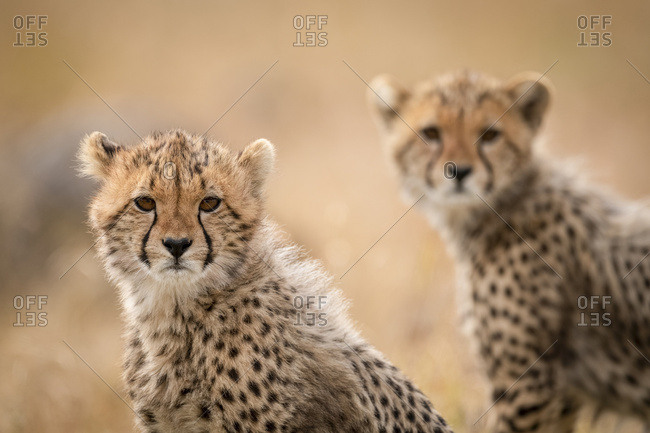 Close-up with cheetah cub (Acinonyx jubatus) with another behind, Maasai Mara National Reserve; Kenya