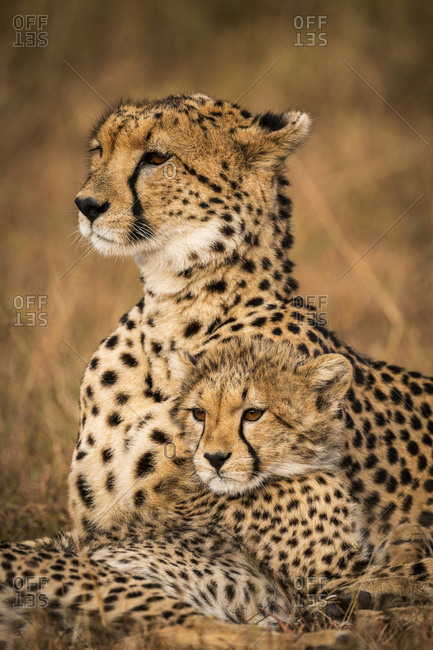 Close-up of cheetah (Acinonyx jubatus) with cub in grass, Maasai Mara National Reserve; Kenya