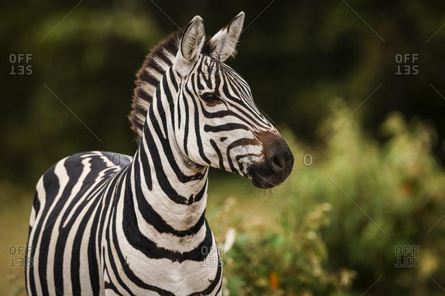 Close-up of plains zebra (Equus quagga) looking at camera, Maasai Mara National Reserve; Kenya