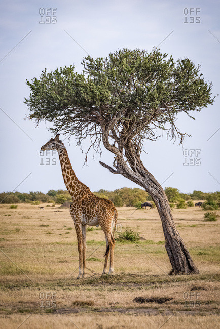 Giraffe (Giraffa camelopardalis tippelskirchii) eating beneath leaning tree on savannah, Maasai Mara National Reserve; Kenya