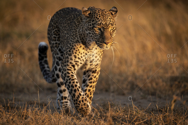 Leopard (Panthera pardus) walking on grassland in golden light, Maasai Mara National Reserve; Kenya