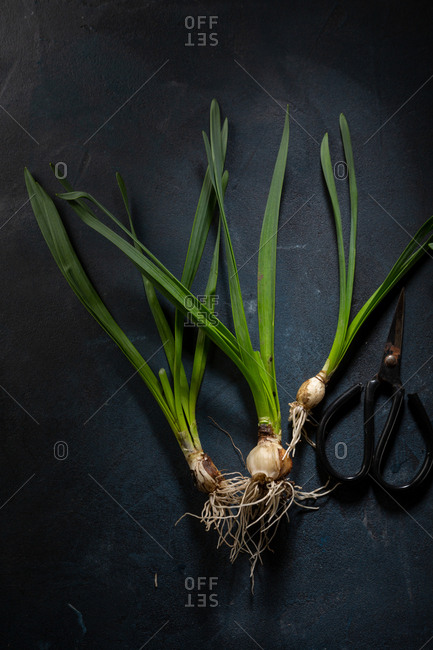Daffodils with bulb roots