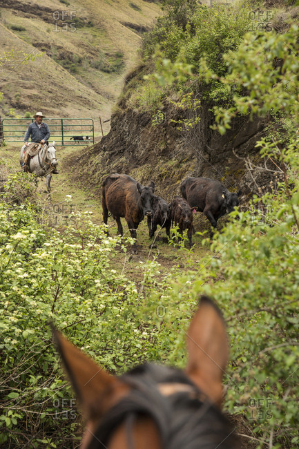 USA, Oregon, Joseph,  - May 15, 2015: Cowboy Todd Nash moves his cattle from the Wild Horse Drainage down to the canyon floor by Big Sheep Creek
